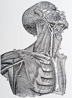 Illustration from gray's anatomy copyright 1872 medical illustrations, medical drawings, medical art, human Illustration Botanique, Illustration Art, Antique Illustration, Andreas Vesalius, Leave Art, Medical Art, Medical Drawings, Medical Design, Anatomy Drawing