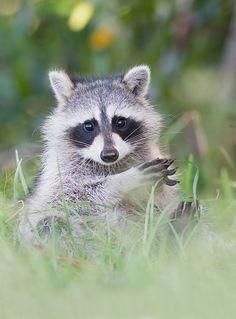 Baby Raccoon, Cute Raccoon, Racoon, Animals And Pets, Baby Animals, Cute Animals, Most Beautiful Animals, Mundo Animal, Baby Puppies