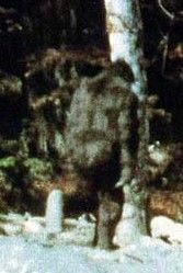 Hoopa is only a few miles south of the site of the famous Patterson-Gimlin film with this siting of Bigfoot at Bluff Creek in California.I learned to drive out in this area in the Real Bigfoot, Finding Bigfoot, Bigfoot Sasquatch, Weird Creatures, Fantasy Creatures, Mythical Creatures, Bigfoot Pictures, Pie Grande, Rare Animals