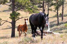 Black Hills Wild Horse Sanctuary Majestic Horse, Beautiful Horses, Wild Mustangs, Horse Girl, Happy Animals, Wild Horses, Zebras, Beautiful Creatures, Animal Kingdom