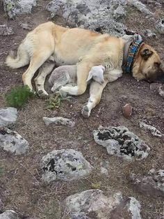 A Kangal dog with a lamb