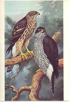 Goshawk (Accipiter gentilis) postcard for  European Conservation Year 1970 - based on a painting by wildlife artist H J Slipjer