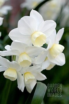 NARCISSUS_SILVER_CHIMES