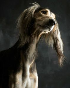 The Saluki. Also known as the Persian Greyhound & Royal Dog of Egypt, the Saluki is one of the oldest known breeds of domesticated dog with Middle Eastern evidence dating back to B. All Dogs, I Love Dogs, Dogs And Puppies, Doggies, Beautiful Dogs, Animals Beautiful, Cute Animals, Animals Dog, Simply Beautiful