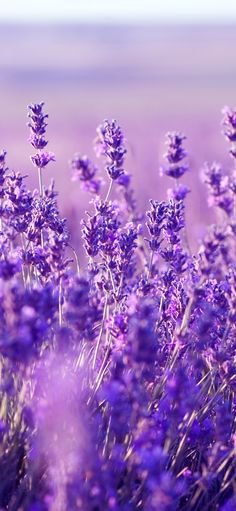 Keep Lavender Plant in Your Bedroom: It Dramatically Improves Sleep, Reduces Anxiety, Depression and Panic Attacks Colorfull Wallpaper, Purple Flowers Wallpaper, Dark Purple Flowers, Purple Wedding Flowers, Lavender Flowers, Deep Purple, Lavender Fields, Flowers Garden, Purple Tips