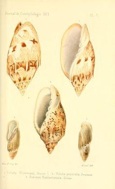 t 19 (1871) - Journal de conchyliologie. - Biodiversity Heritage Library