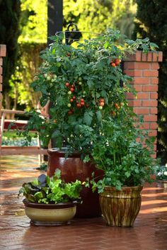 Grow Tomatoes In Containers Edible landscaping, or foodscaping, has exploded as the hottest gardening trend in years. - Edible landscaping, or foodscaping, has exploded as the hottest gardening trend in years. Tips For Growing Tomatoes, Growing Tomato Plants, Easy Plants To Grow, Growing Tomatoes In Containers, Grow Tomatoes, Dried Tomatoes, Baby Tomatoes, Best Tasting Tomatoes, Tomato Farming