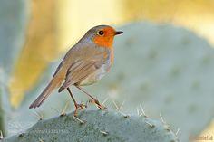 European robin #PatrickBorgenMD