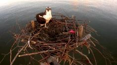 The live Chesapeake Osprey Cam features a pair of ospreys on Kent Island, Maryland. Watch as they lay eggs and raise their young to fledging birds!