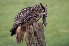 A close up portrait of a eagle owl with its prey. It is perched on a post with a mole in its beak