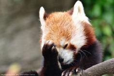 """Red Panda   """"Doh"""" @Thomas Sides"""