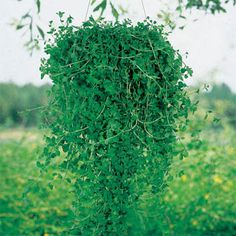 Pennyroyal for pest control. Plant in window boxes to keep bugs away from screens. Use in hanging baskets on patios for a natural bug repellant.
