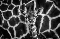 hello - out of my series ANIMALS  a new shot from from the workshop at Zoo Duisburg  next WORKSHOP at Zoo Münster, Mai 15. 2015