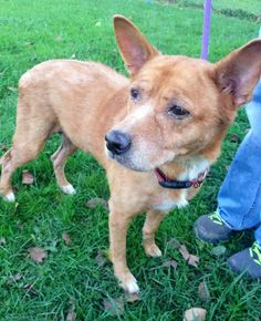 "ADOPTED!!!Pretty girl ""PUMPKIN PIE"" (sweetheart) #32 was found in LORAIN COUNTY, OHIO.... https://www.petfinder.com/petdetail/30485909/"