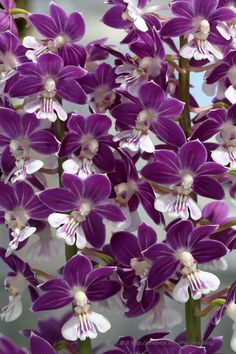 Calanthe  orchid
