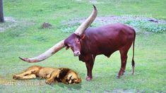 Lion vs Buffalo Bull fight back Leopard vs Wild Boar Lion attacks animal prey fight back Buffalo saves buffalo from lion Nature Wildlife Wild Animals Attack, Animal Attack, Cat Attack, Buffalo Bulls, Wild Boar, Big Cats, Ecology, Lion, Wildlife