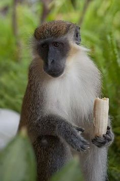 The Green Monkey is found in West Africa from Senegal to the Volta River. It has been introduced to the Cape Verde islands off north-western Africa, and the West Indian islands of Saint Kitts, Nevis, Saint Martin, and Barbados. It was introduced to the West Indies in the late 17th century when slave trade ships traveled to the Caribbean from West Africa.