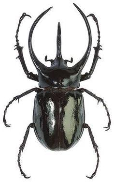 Resultado de imagen para escarabajos
