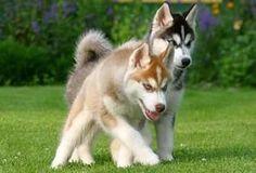 Toy Alaskan Klee Kai | The Mini Husky is shorter counterpart of the Alaskan Husky. The ...