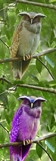The crested owl comes in many shades, but I'm relatively sure none of them are purple. I'm not even sure if I'm convinced by the green of the original, but think it could be a light grey, and the colour balance of the photo gave it a greenish cast. Or even the reflected green from the leaves . The photo was taken in dark conditions with a one-second exposure, and colours in long exposures tend to be exaggerated or somewhat altered. Most other photos of the species appear to be a fine owl brown.