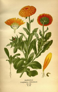 Marigold / Calendula - Cadmium Yellow (light, medium and dark): Goldenrod, Old gold, Lantana, Calendula