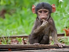 Baby baboon, South Africa
