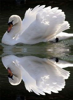 expression-venusia:  : Beautiful Swan Expression