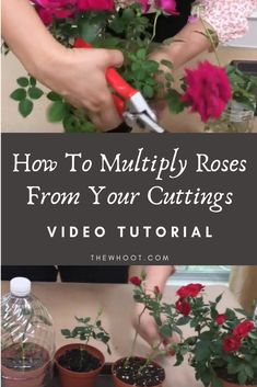roses garden care Learn how to multiply roses with this easy step by step technique that will result in blooming beautiful plants. Use this for miniature all the way through to giant climbing roses. Watch the video now. Outdoor Plants, Garden Plants, Roses Garden, Fruit Garden, House Plants, Growing Flowers, Planting Flowers, Flower Gardening, Growing Roses From Seeds