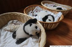 かご入りパンダが1匹、かご入りパンダが2匹 ZZZ......いや、寝たらダメ(画像)
