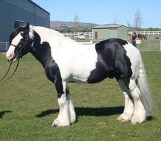 Drum Horse Info, Origin, History, Pictures | Horse Breeds Information & Pictures