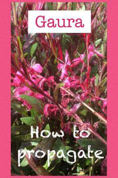 How to propagate Gaura lindheimeri (Butterfly Bush) – Everydaywits Butterfly Plants, Butterfly Bush, Butterflies, Flowers Perennials, Planting Flowers, Gaura Plant, Front Flower Beds, Garden Front Of House, French Flowers