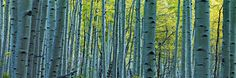 Peter Lik Endless Birches    (To go in Dining room)