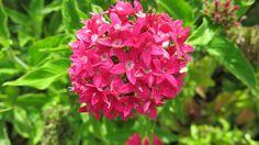 flor rosada crespa