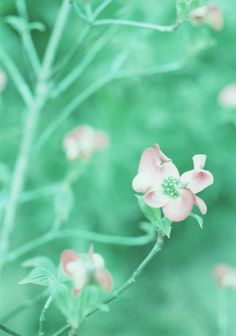 mint.quenalbertini: Beautiful mint