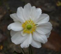 Anemone hybrida 'Whirlwind' - Høstan