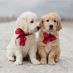 36 Best Golden Retriever Puppies For