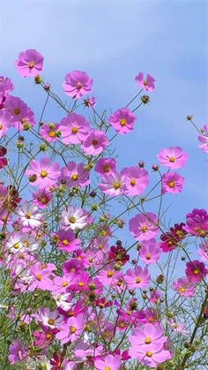I always plant rows of cosmos. I always plant rows of cosmos. Tropical Flowers, Spring Flowers, Amazing Flowers, Beautiful Flowers, Cosmos Flowers, Cosmos Plant, Flower Aesthetic, Flower Pictures, Flower Wallpaper