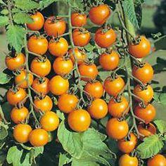 Growing Tomatoes & Tomato Growing Tips