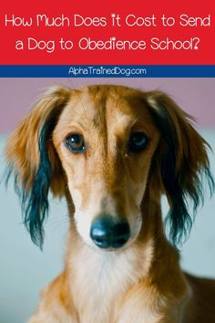 How much does it cost to send a dog to obedience school? - How much does dog obedience school cost? Find out the typical fee range for 10 different types of d - Puppy Training School, Puppy Training Classes, Therapy Dog Training, Service Dog Training, Agility Training For Dogs, Best Dog Training, Therapy Dogs, Service Dogs, Obedience School For Dogs