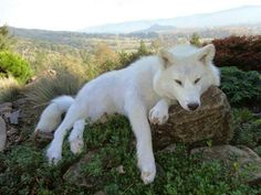 "earthlynation: "" White Wolf. Photo found here """