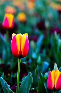 Tulips are beautiful!