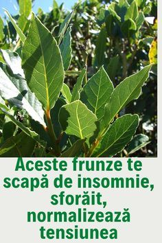 Plant Leaves, War, Healthy, Medicine, Therapy, Insomnia, Plant, Health And Wellness, Health