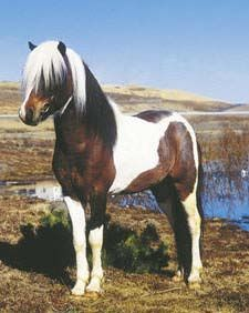 The Icelandic horse is descended from horses brought to Iceland by settlers over eleven centuries ago.
