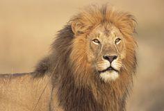 Löwe in der Wildnis
