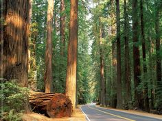 Giant Redwoods at the Avenue of the  Giants in Humbolt county California.  It is like walking through a fairy tale haunted forest.