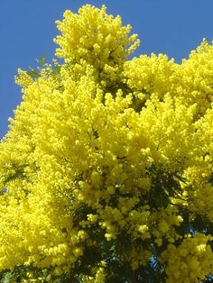Cootamundra Wattle - also known as the Golden Mimosa and one of my favourite wattles although not thought so by many who claim it is invasive.