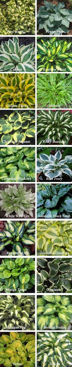 Types of hostas. Zones Blooms summer or fall. Light to full shade. 6 to 3 tall, 6 to 5 wide. – My Garden Your Garden Types of hostas. Zones Blooms summer or fall. Light to full shade. 6 to 3 tall, 6 to 5 wide. – My Garden Your Garden Hosta Plants, Shade Plants, Sun Perennials, Garden Types, Outdoor Plants, Outdoor Gardens, Outdoor Shade, Farm Gardens, Small Gardens