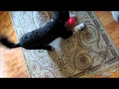Crazy and Funny Portuguese Water Dog Chases a Laser Light