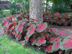 Caladium en tant que déco dans le jardin d'ombre Tropical Garden Design, Tropical Landscaping, Tropical Plants, Tropical Gardens, Shade Garden, Garden Plants, Garden Mulch, Sky Garden, Beautiful Gardens