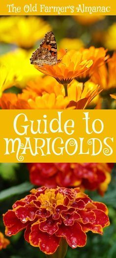 marigolds in garden Learn how to plant, grow, and care for marigold flowers with this garden guide. Including everything from planting marigold seeds to deadheading flowers. Marigolds In Garden, Growing Marigolds, Hydrangea Garden, Garden Shrubs, Growing Flowers, Lawn And Garden, Planting Flowers, Flower Gardening, Deadheading Flowers